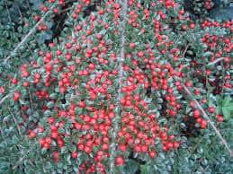 Cotoneaster - fonte web