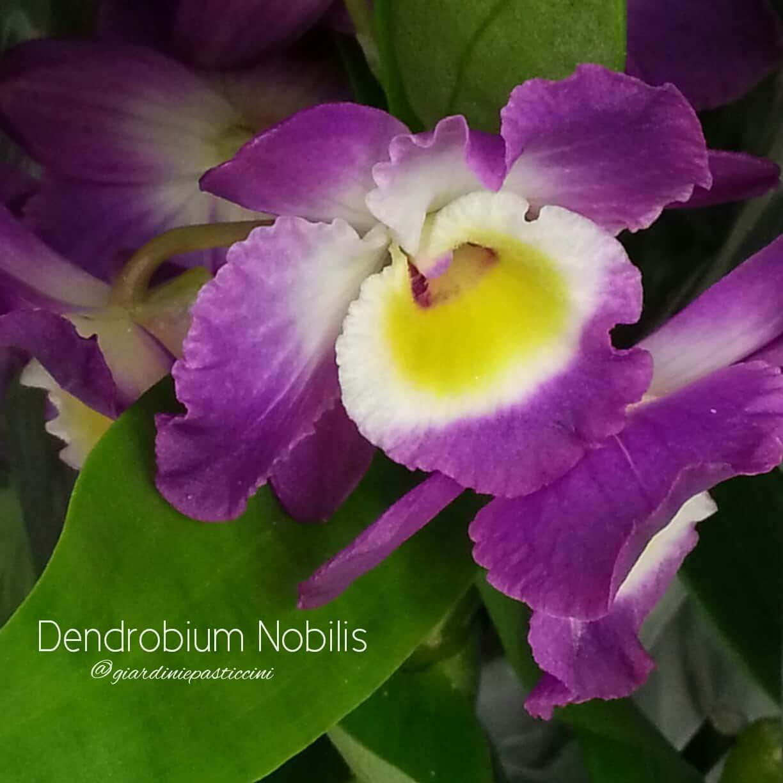 Orchidee simbolo di amore eterno