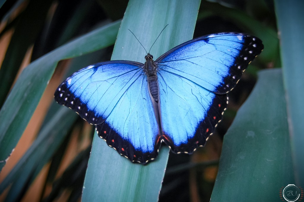 "Farfalla ""Morpho"" - foto Erica Menegollo"