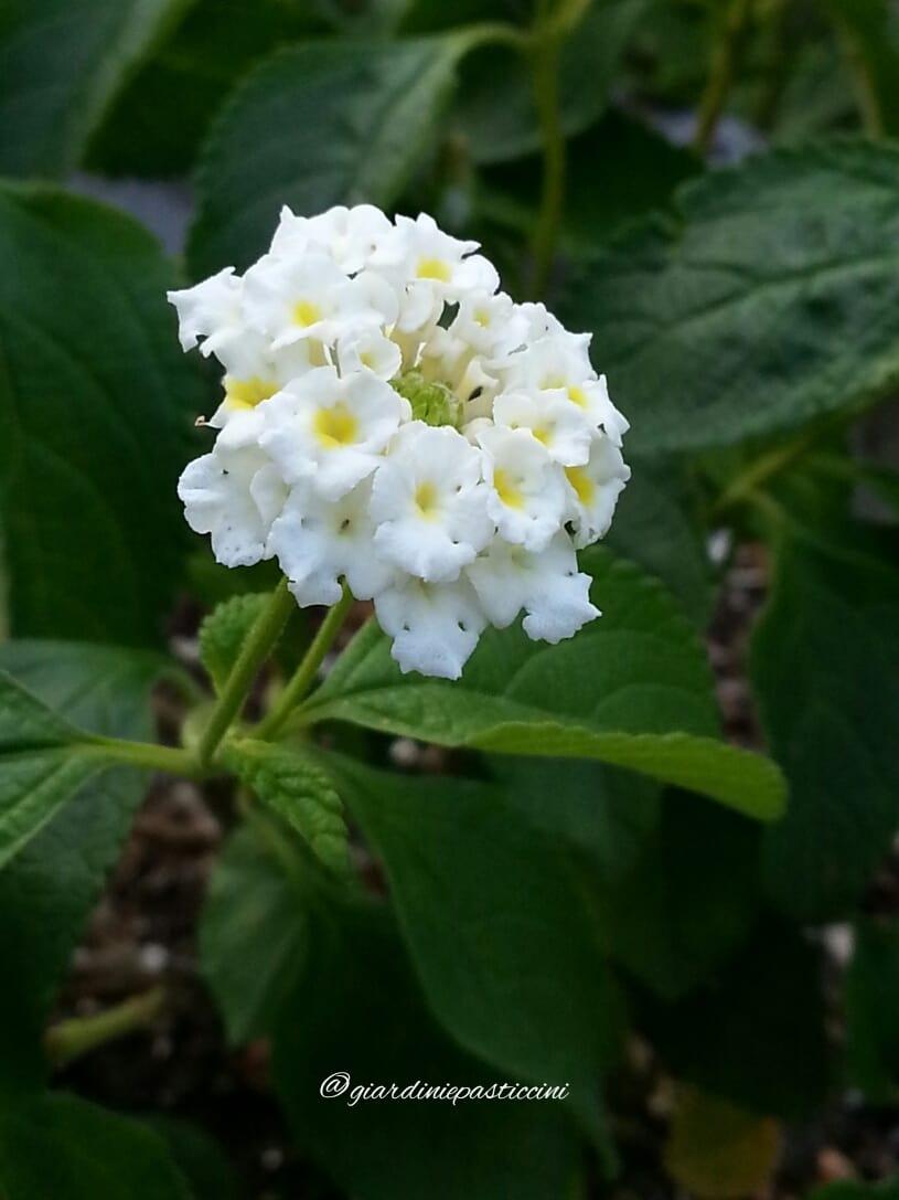 L'eleganza della Lantana bianca