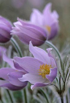 Bulbose a fioritura primaverile