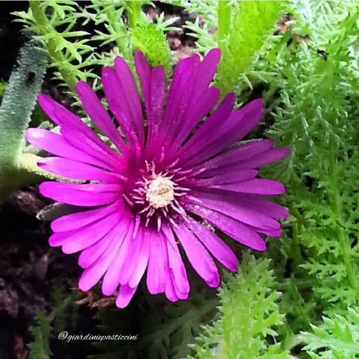 I Mesembryantemum