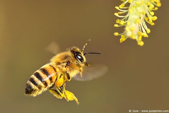 002426-apis_mellifera-bee-ape