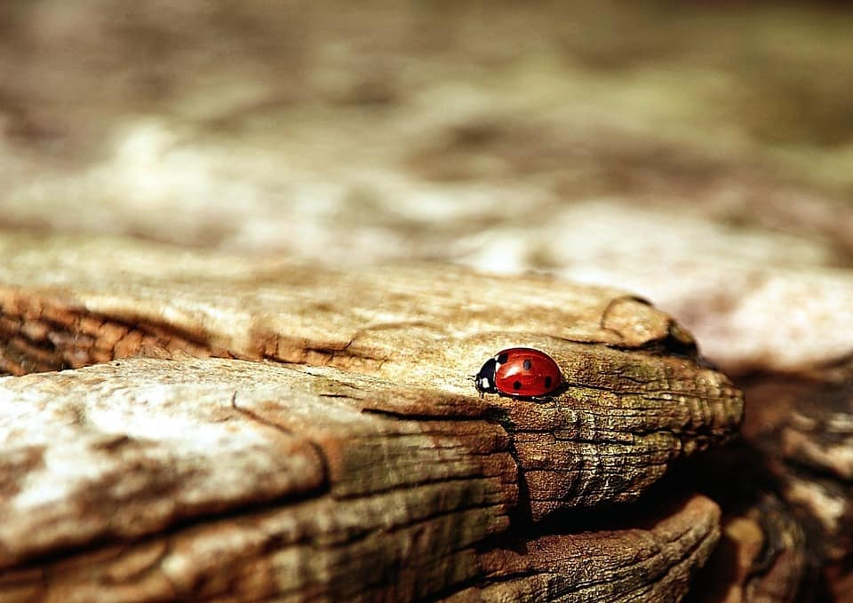 ladybug-354521_960_720