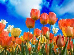tulips-3251607_960_720