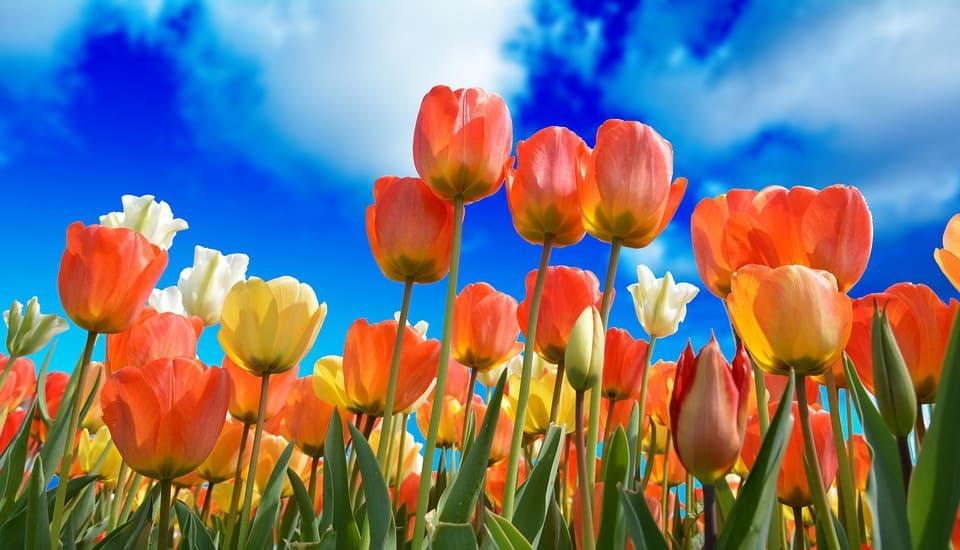 Tulipani Italiani a Cornaredo