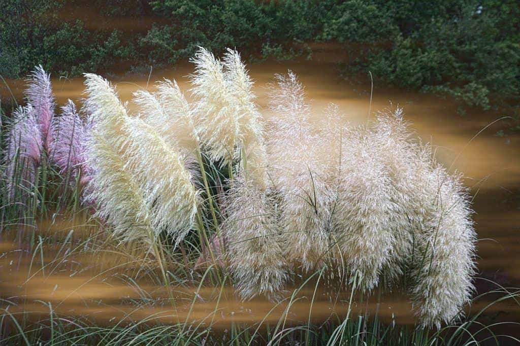 """Erba delle Pampas: la recente tendenza in piante di design, che nasconde un """"segreto"""""""