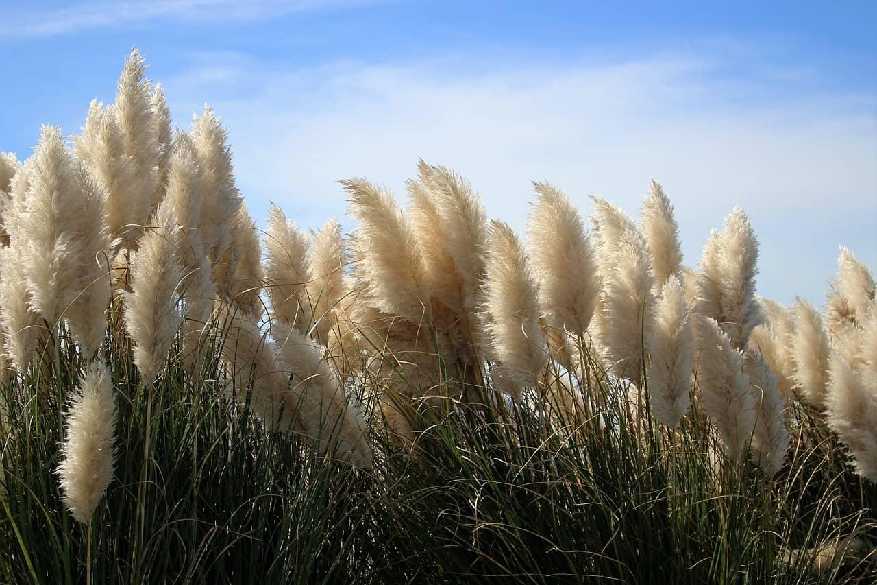 Erba delle Pampas