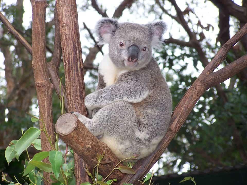 Come possiamo aiutare l'Australia a recuperare la sua fauna selvatica?
