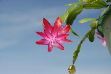 cactus natale – piante natalizie